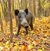 porco selvagem foto
