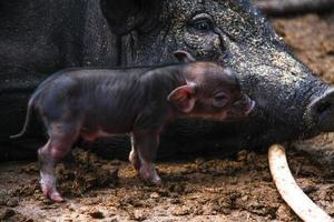 porco bebê