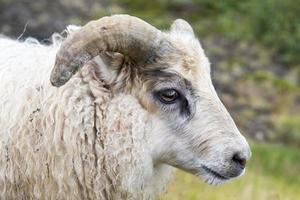 jovem ovelha islandesa num prado verde, Islândia foto