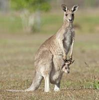 canguru vermelho com joey foto