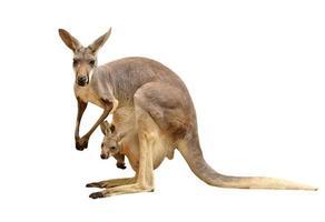 um canguru carregando um joey na bolsa, isolado no branco foto