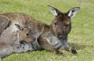 canguru com joey na bolsa foto