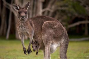 mãe canguru na floresta com seu bebê na bolsa foto