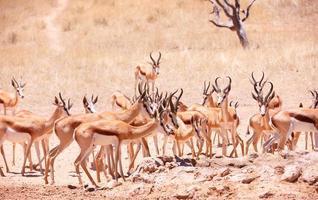 grande rebanho de gazela