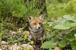 pequena raposa foto