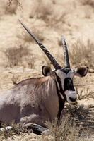 gemsbok, oryx gazella foto
