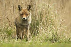 filhote de raposa vermelha selvagem foto