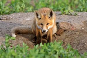 filhote de raposa vermelha em saskatchewan foto
