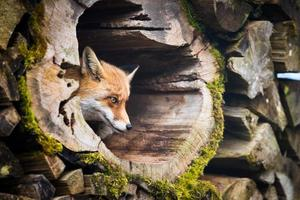 raposa vermelha (vulpes vulpes) foto