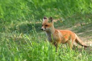 raposa na natureza foto