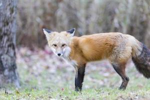 raposa vermelha solitária em um cenário de floresta foto
