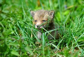 filhote de raposa na grama longa foto