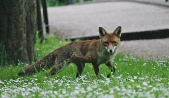 alerta raposa vermelha selvagem olha para a câmera foto