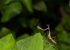 mantis captura em estado selvagem foto