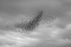 starlings3 foto