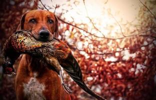 faisão do cão do ridgeback foto