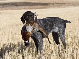 cão de caça com um faisão foto