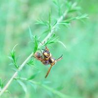 duas vespas ou vespas com uma montando na outra foto