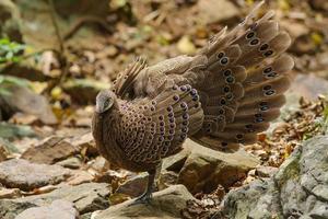 faisão-pavão cinzento (polyplectron bicalcaratum) na natureza foto