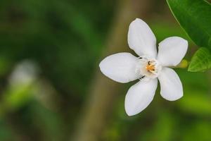 gardênia flor