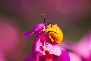 pequeno besouro laranja foto