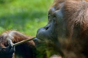 orangotango foto