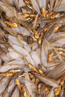 larvas de cupins foto
