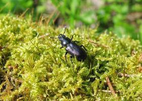 besouro azul inseto em musgo foto