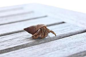 caranguejo eremita foto