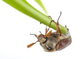 besouro rastejando na lâmina foto