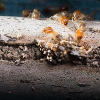 multidão de insetos cupins