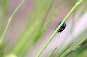 besouro azul foto