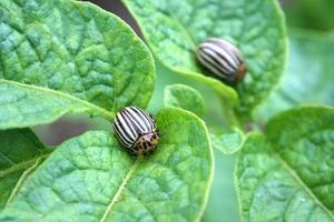 besouros de batata de colorado foto