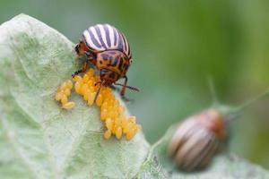 besouro de batata de colorado foto