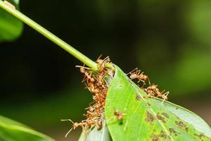 trabalho em equipe de formigas vermelhas foto