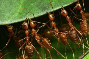 closeup formiga vermelha foto