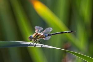 libélula no jardim