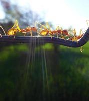 formigas foto