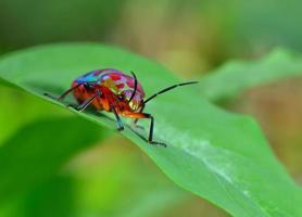 inseto (chrysocoris stollii) na natureza foto
