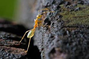 formiga inquisidora da árvore verde foto
