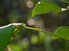 formigas vermelhas foto