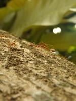 formigas tecelãs foto