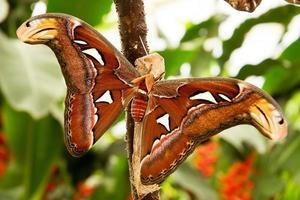 mariposa tropical: attacus atla