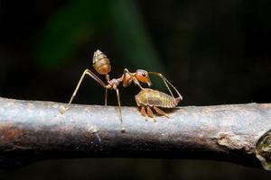 pulgões formigas. fechar-se. foto