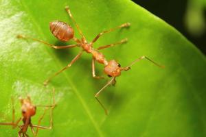 pequena formiga vermelha trabalhando na árvore foto