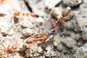 formigas estão procurando comida. foto