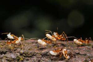 formiga está carregando ovos foto