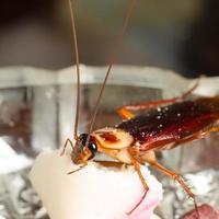 bug de barata de cozinha de casa foto