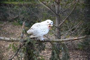 coruja nevado comendo garota