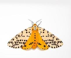 mariposa multiguttata do spilosoma foto